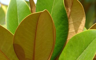 Magnolia for ever encore